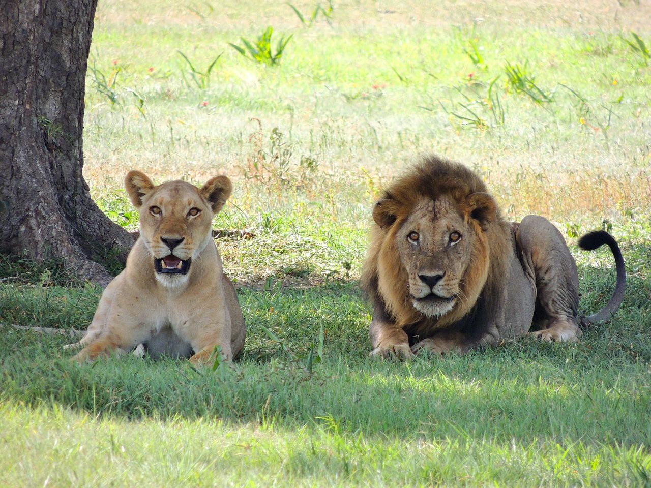 lions-175934_1280