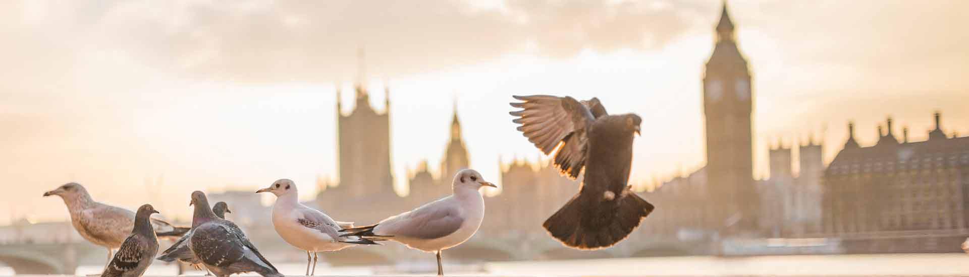 londen-duiven